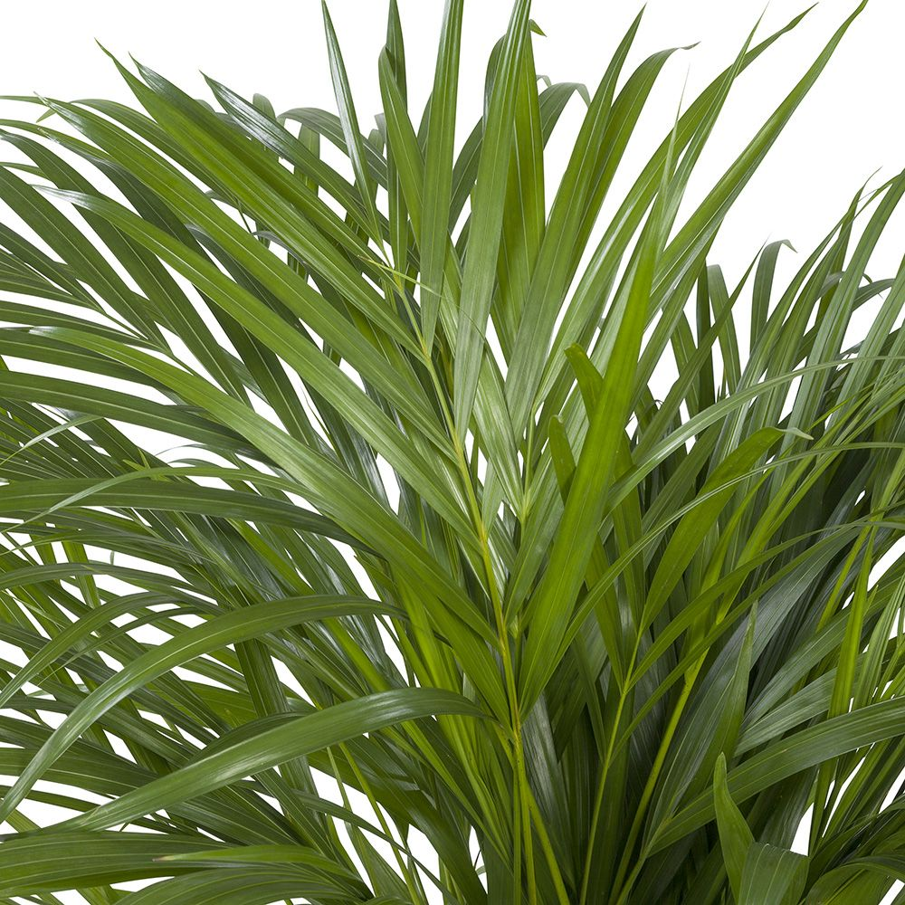 Areca Dypsis Close-up